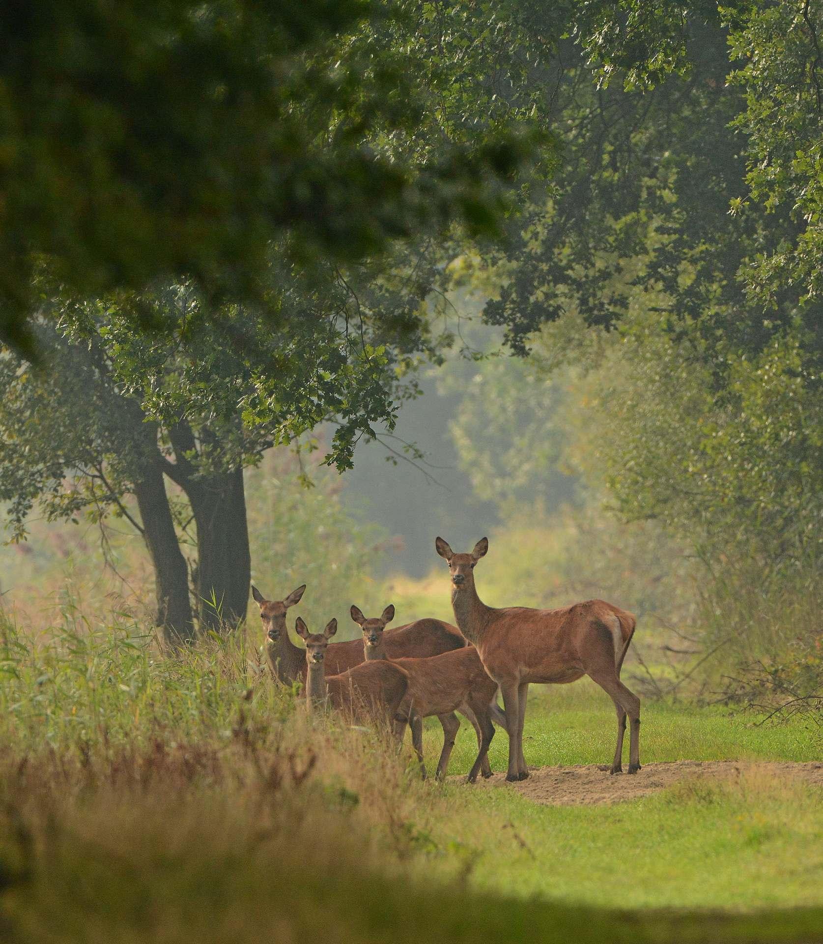 Edelherten in het Weerterbos